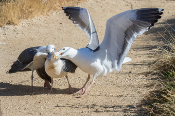 Western gulls fighting over female gull at Point Lobos State Reserve, California coast