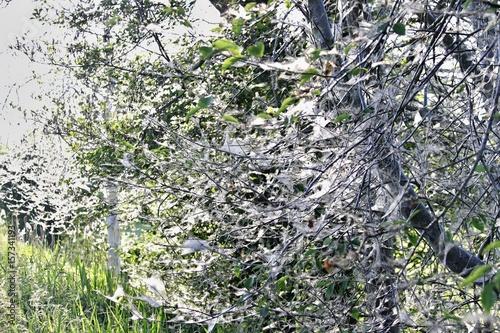 Gespinstmotte Baum
