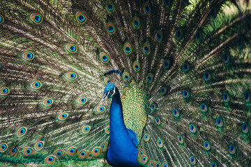 Close up of peacock showing its beautiful feathers. Beautiful peacock male displaying his tail.