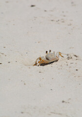 Ghost Crab Vertical/Small Ghost crab comes out of hole in sand