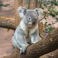 Koala, Phascolarctos cinereus, sitting on a tree