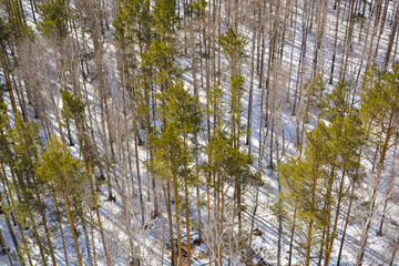 Top view forest of birches and pine trees in the winter