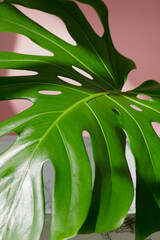 Close-up of the monstera leaf against pink wall. Abstract composition.