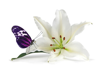 Mindfulness Moment with Lovely Lily and Beautiful  Butterfly -  white lily head with a pink and black butterfly resting on one petal isolated on a white background