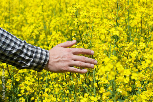 Male peasant in field of yellow blooming canola and stroked the male peasant in field of yellow blooming canola and stroked the flowers closeup agriculture mightylinksfo