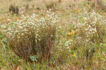 Thymus mastichina. Tomillo blanco.