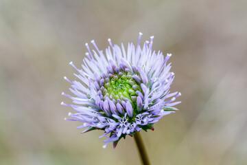 Jasione montana. Flor de Botón Azul.