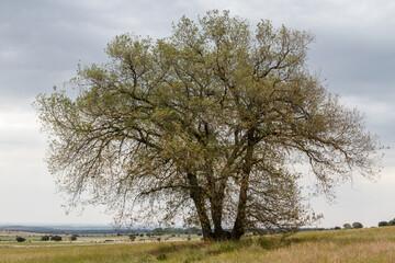 Quercus ilex. Encina, carrasca.