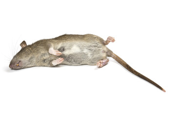 Dead rat isolated on a white background with shadow.