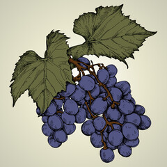 Branch of blue grapes