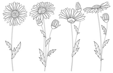 Vector set with outline Chamomile flowers, bud and leaf isolated on white background. Ornate Chamomiles in contour style for summer design, herbal cosmetics, aromatherapy, homeopathy, coloring book.