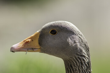 Greylag goose head. Close up of face in profile.