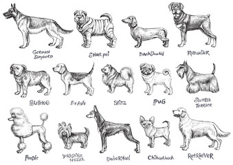 Dogs breeds vector set.