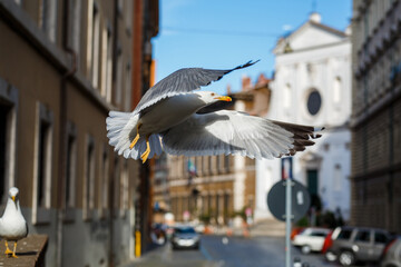 Seegull in flight on the streets of Rome