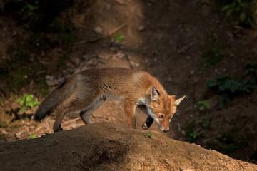 red fox, vulpes vulpes, Czech republic