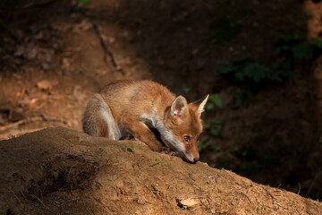 red fox, vulpes vulpes, Czech republic