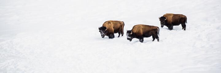 Three Bison In Snow