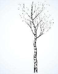 Birch. Vector drawing