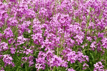 Mauve blooming phlox flowers in summer garden