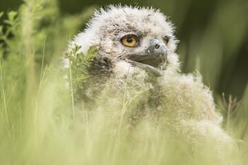 Baby Owlet
