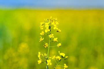 Beautiful yellow, flowering rape. Plant close-up with blurred background