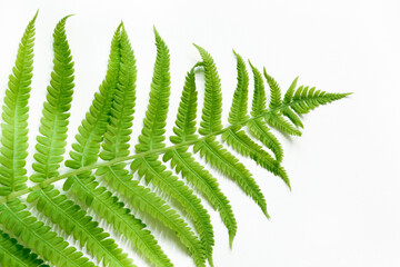 Single leaf of fern on white background. Top view, isolated with copy space.