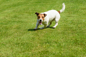 Dog catching soap bubbles with mouth on green grass background