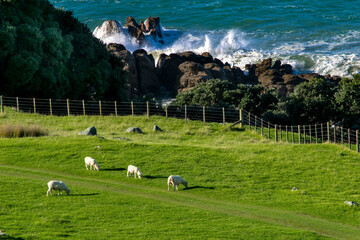 Fotobehang Nieuw Zeeland new zealand landscape with sheep pacific ocean