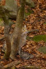 Watching wild cat