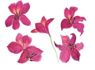 Watercolor painting Alstroemeria flowers set