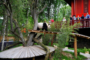 Wu Wen, the female of the two giant pandas, is presented at the Ouwehands Zoo in Rhenen