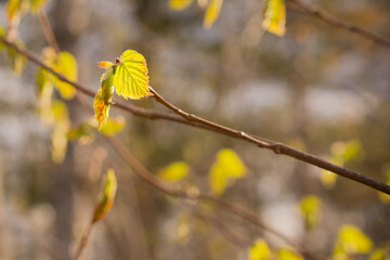 Young Beaked Hazelnut in Spring