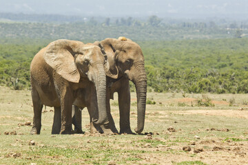African elephants on an open savannah