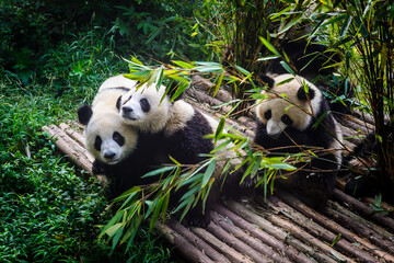 Foto auf Acrylglas Pandas Pandas enjoying their bamboo breakfast in Chengdu Research Base, China