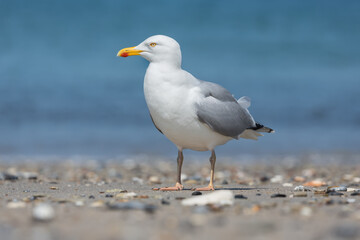 Herring gull at beach of German island Dune near Helgoland