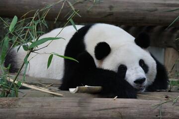 Sub-Adult Fluffy panda in China