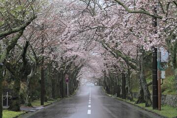 伊豆高原桜並木 (雨)