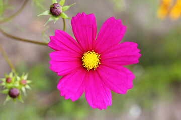 Red light carnation  (Silene dioica)