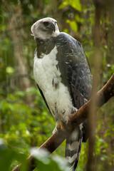 American harpy eagle - harpia harpyja