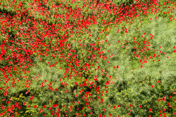 aerial view of red poppy field