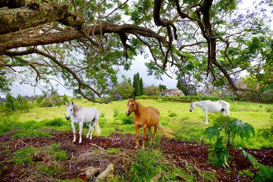 Three beautiful horses grazing under purple jacaranda tree flowering on Maui island, Hawaii
