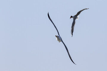 Gaviota vulgar atacando a gaviota pata amarilla