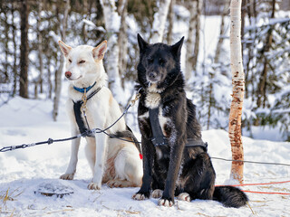 Husky dogs in sled in Lapland Finland