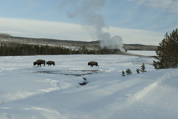 Bison, Winter, Yellowstone NP