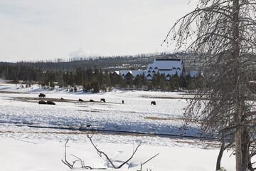 Bison, Winter, Upper Geyser Basin, Yellowstone NP