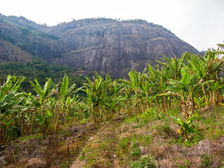 Banana farming with a mountain in the background in Brazil