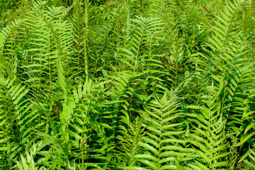 fern leaf pattern nature