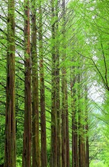 Row of green ginkgo trees in the park at Namiseom or nami Island, Chuncheon-si, Gangwon-do, South of Korea