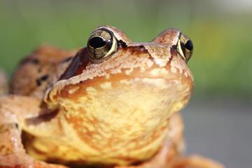 macro portrait of common frog
