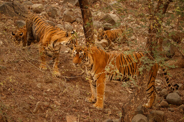 Tigers in the nature habitat. The whole tigers family in the forest. Wildlife scene with danger animal. Hot summer in Rajasthan, India. Dry trees with beautiful indian tiger, Panthera tigris
